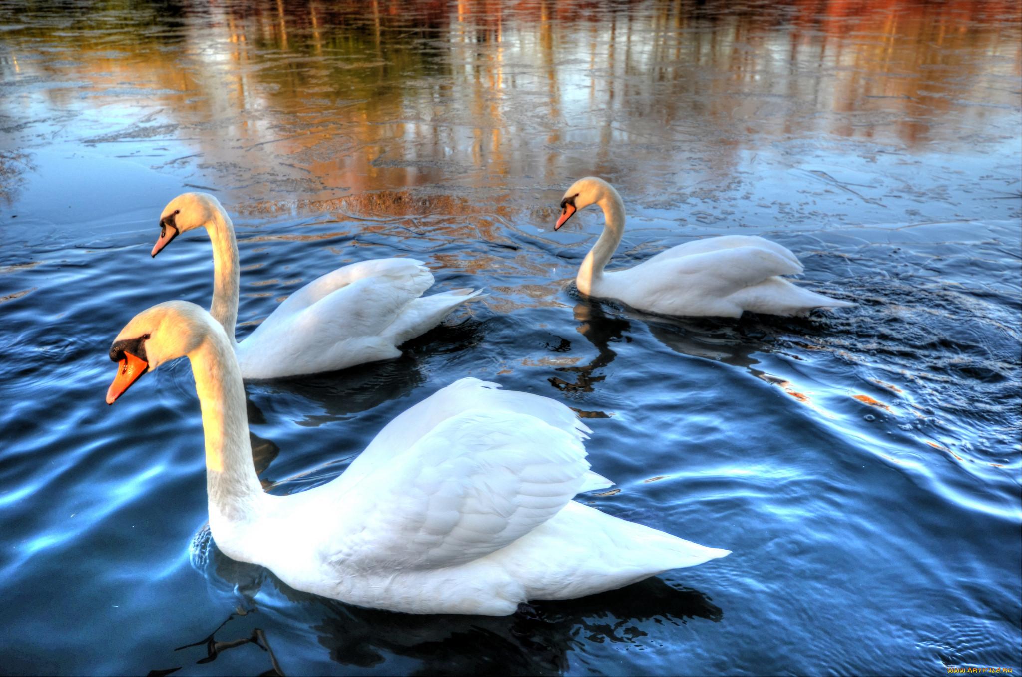 Картинки с тремя лебедями